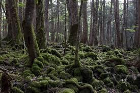 La mystérieuse forêt d'Aokigahara par Sophe Vitali pour le magazine Monde Inconnu